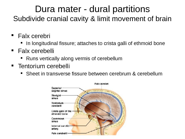 Dura mater - dural partitions Subdivide cranial cavity & limit movement of brain Falx cerebri In