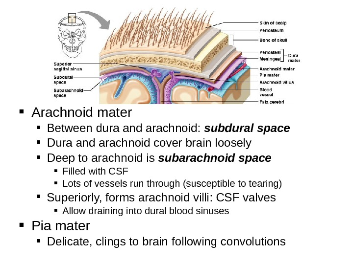 Arachnoid mater Between dura and arachnoid:  subdural space Dura and arachnoid cover brain loosely