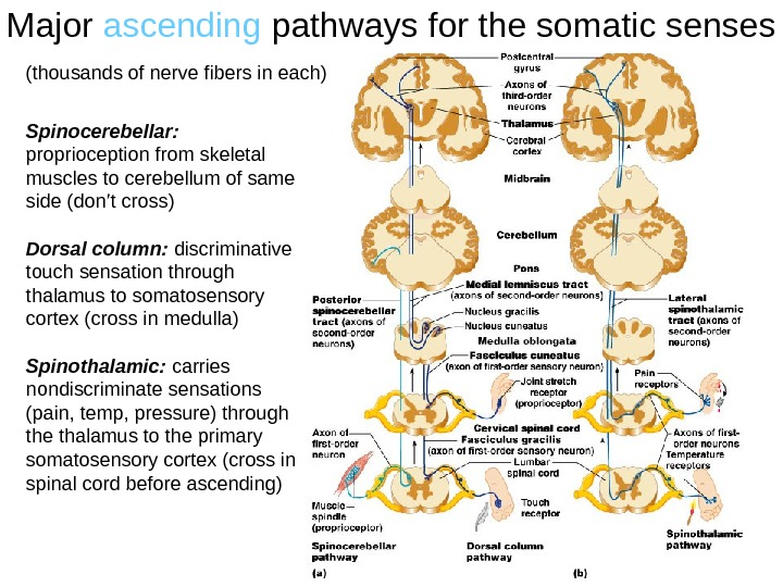 Major ascending pathways for the somatic senses Spinocerebellar:  proprioception from skeletal muscles to cerebellum of