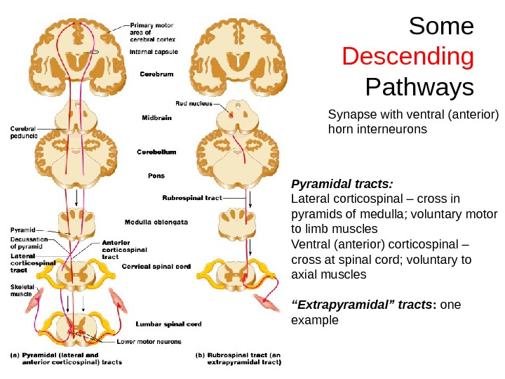 Some Descending  Pathways Pyramidal tracts:  Lateral corticospinal – cross in pyramids of medulla; voluntary