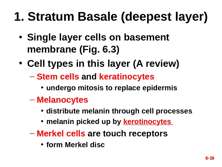 6 - 191. Stratum Basale (deepest layer) • Single layer cells on basement membrane (Fig. 6.