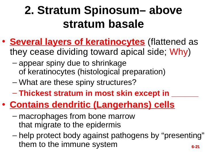 6 - 212. Stratum Spinosum– above stratum basale • Several layers of keratinocytes  (flattened as