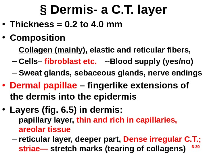 6 - 29§ Dermis- a C. T. layer • Thickness = 0. 2 to 4. 0