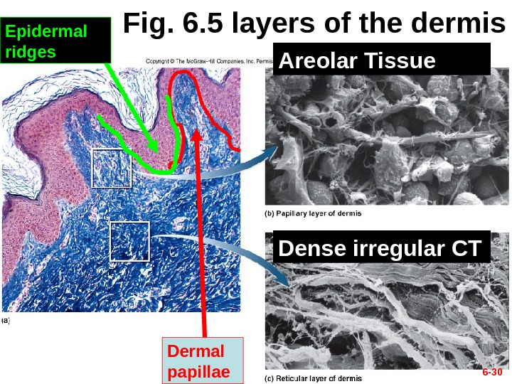 6 - 30 Fig. 6. 5 layers of the dermis Dermal papillae. Epidermal ridges Areolar Tissue