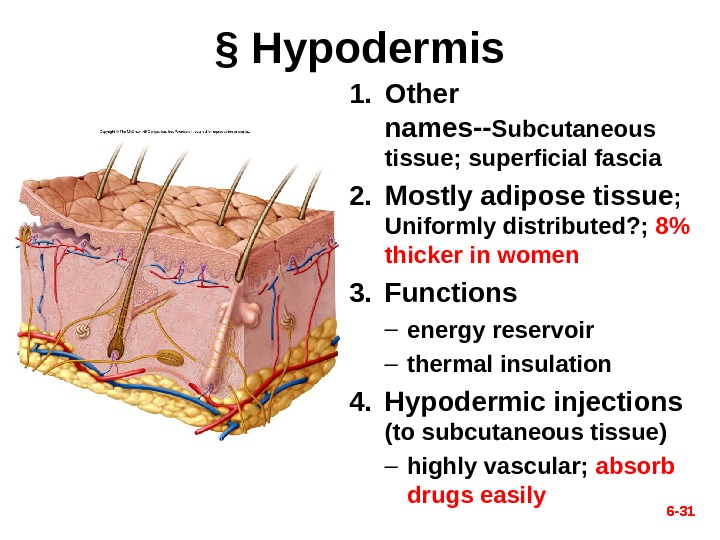 6 - 31§ Hypodermis 1. Other names-- Subcutaneous tissue; superficial fascia 2. Mostly adipose tissue ;