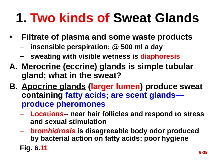 6 - 351.  Two kinds of  Sweat Glands • Filtrate of plasma and some