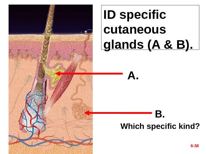 ID specific cutaneous glands (A & B). 6 - 38 A. B. Which specific kind?