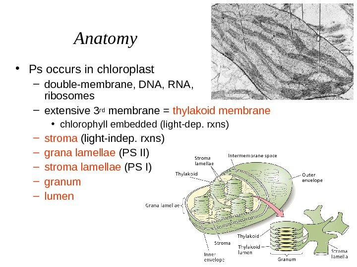 Anatomy • Ps occurs in chloroplast – double-membrane, DNA, RNA,