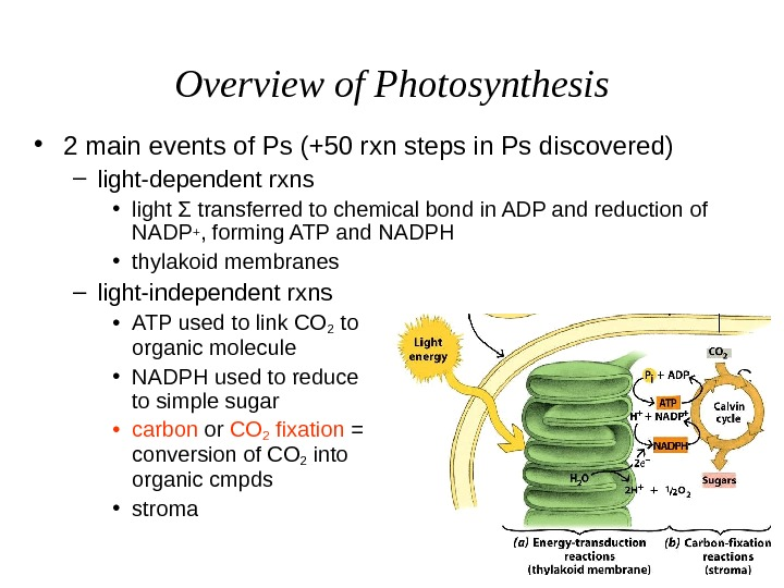 Overview of Photosynthesis • 2 main events of Ps (+50 rxn steps in Ps discovered)