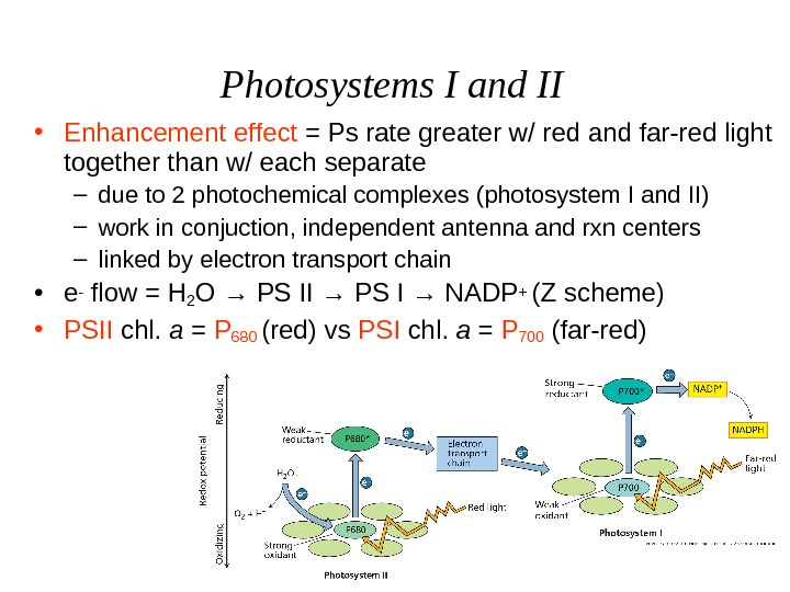 Photosystems I and II • Enhancement effect = Ps rate greater w/ red and far-red