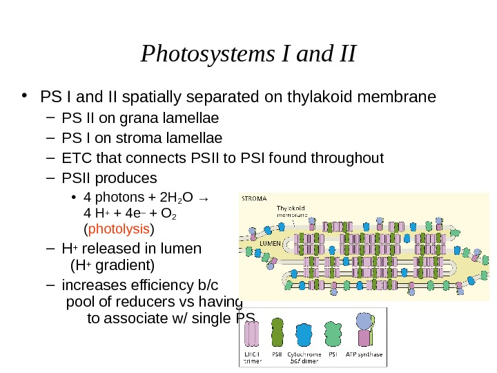 Photosystems I and II • PS I and II spatially separated on thylakoid membrane –