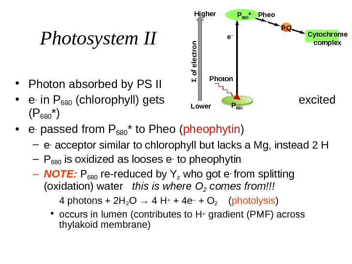 Photosystem II • Photon absorbed by PS II • e- in P 680 (chlorophyll) gets