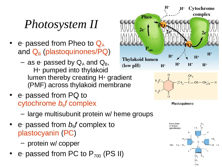 Photosystem II • e- passed from Pheo to QA     and Q