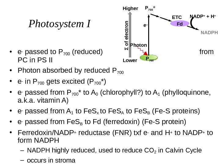 Photosystem I • e - passed to P 700 (reduced)    from PC