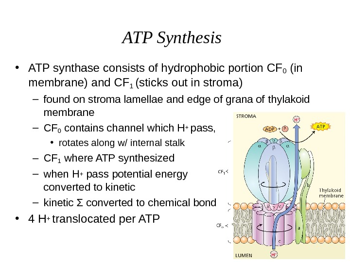 ATP Synthesis • ATP synthase consists of hydrophobic portion CF 0 (in membrane) and CF