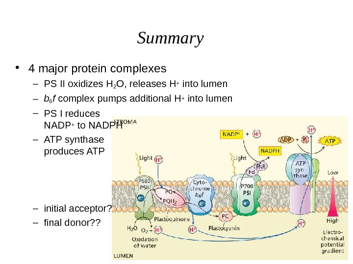 Summary • 4 major protein complexes – PS II oxidizes H 2 O, releases H