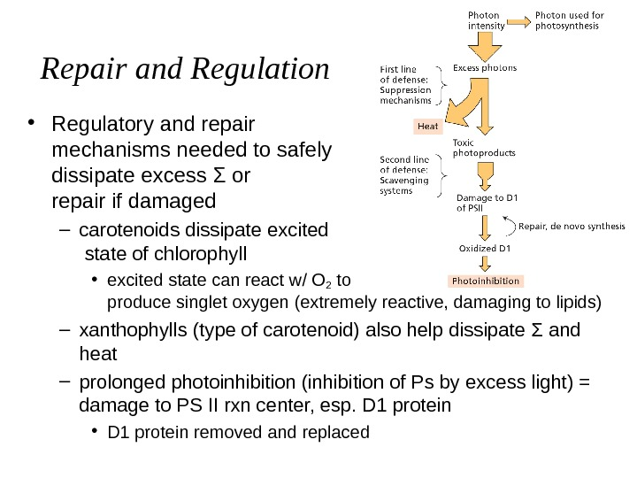 Repair and Regulation • Regulatory and repair     mechanisms needed to safely