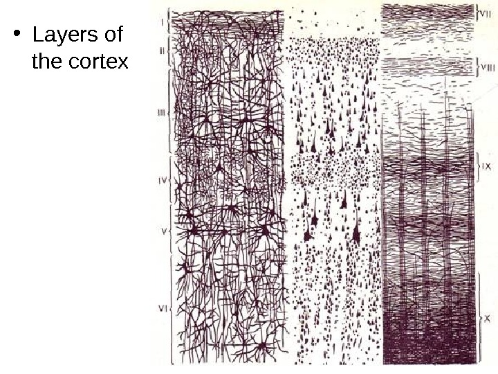 • Layers of the cortex