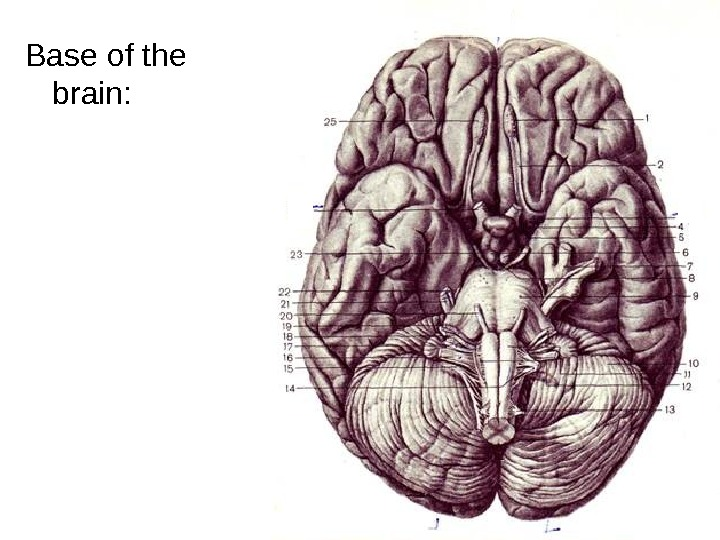 Base of the brain: