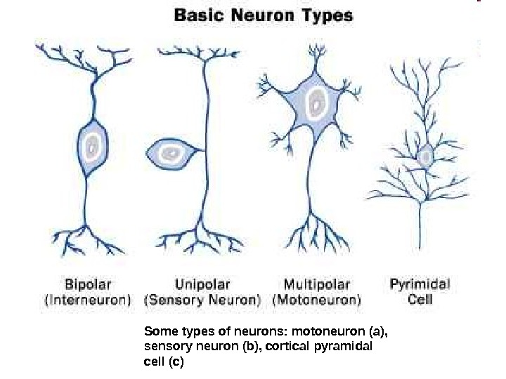 Some types of neurons: motoneuron (a),  sensory neuron (b), cortical pyramidal cell (c)