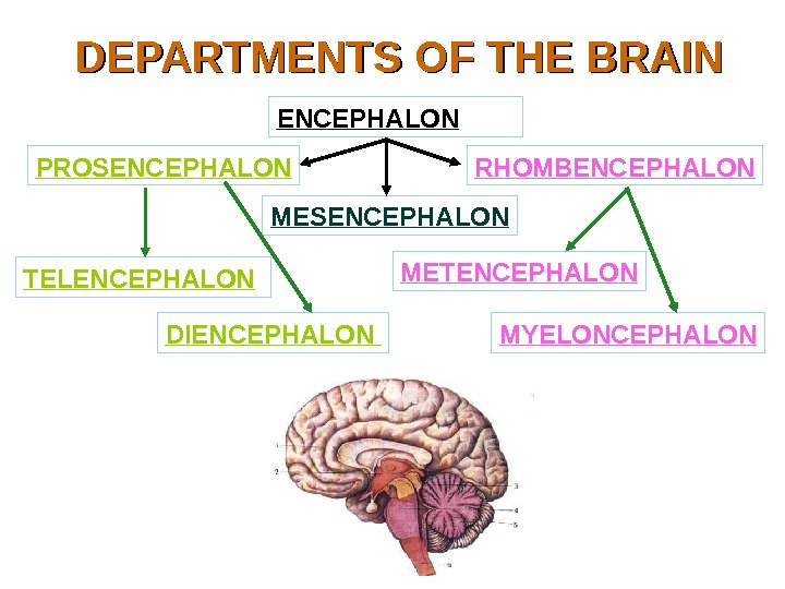 DEPARTMENTS OF THE BRAIN ENCEPHALON PROSENCEPHALON MESENCEPHALON RHOMBENCEPHALON TELENCEPHALON  DIENCEPHALON METENCEPHALON MYELONCEPHALON
