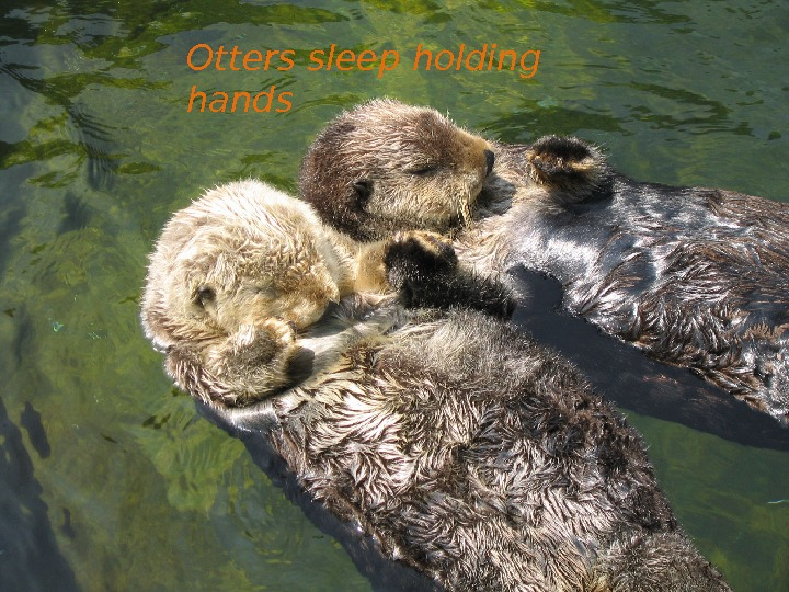 Otters sleep holding hands