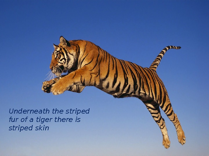 Underneath the striped fur of a tiger there is striped skin