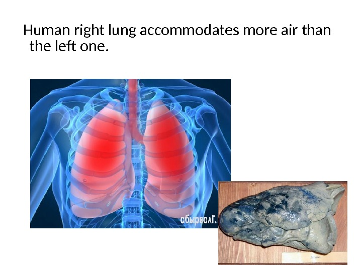 Human right lung accommodates more air than the left one.