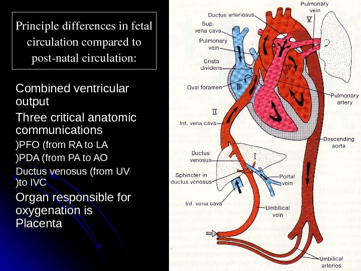 Principledifferencesinfetal circulationcomparedto postnatalcirculation: Combined ventricular output Three critical anatomic communications PFO (from RA