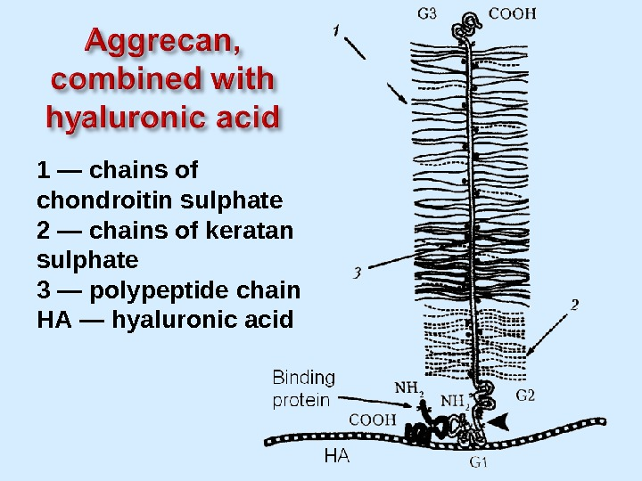 1 — chains of chondroitin sulphate 2 — chains of keratan sulphate 3 — polypeptide chain