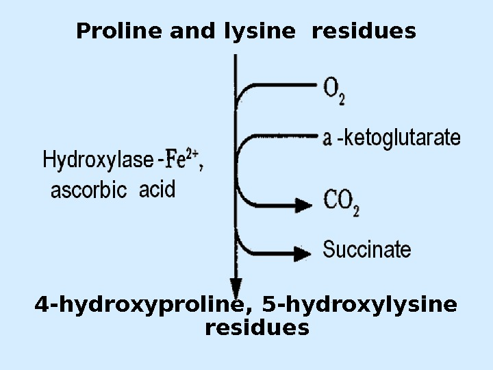 Proline and lysine residues 4 - hydroxyproline , 5 - hydroxylysine residues