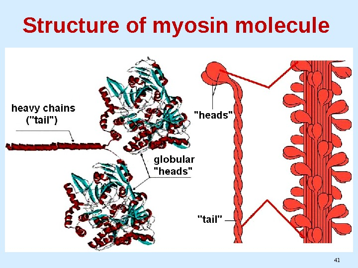 41 Structure of myosin molecule