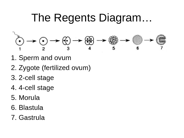 The Regents Diagram… 1. Sperm and ovum 2. Zygote (fertilized ovum) 3. 2 -cell stage 4.