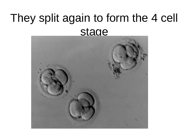 They split again to form the 4 cell stage