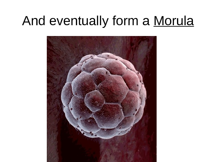 And eventually form a Morula