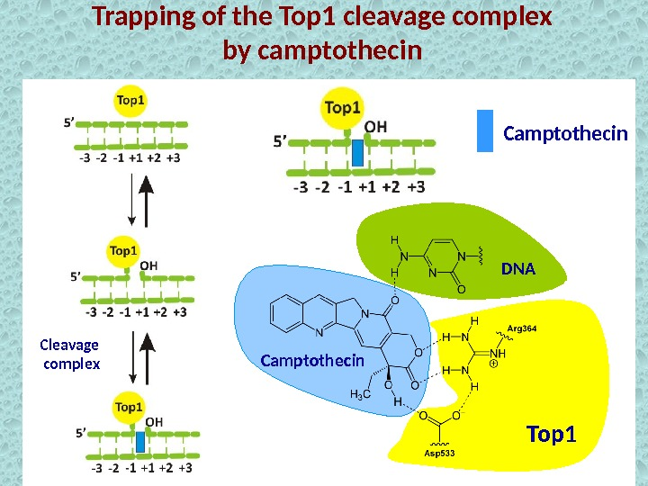 Trapping of the Top 1 cleavage complex by camptothecin Cleavage complex Top 1 Camptothecin DNA