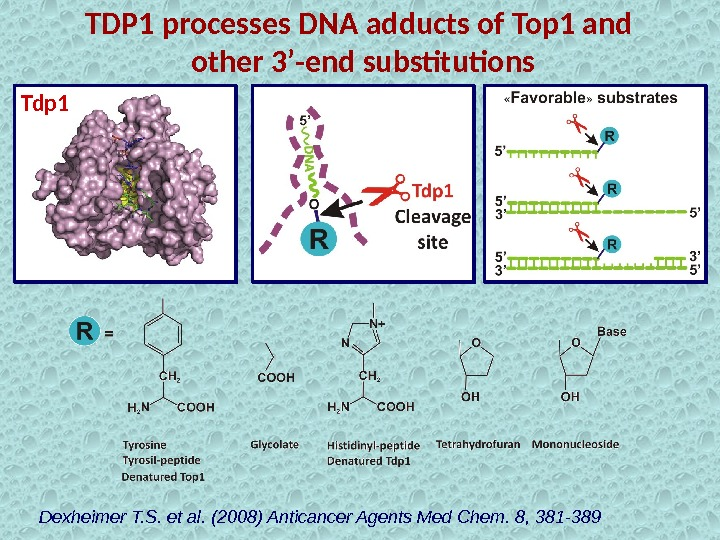 TDP 1 processes DNA adducts of Top 1 and  other 3'-end substitutions Dexheimer T. S.