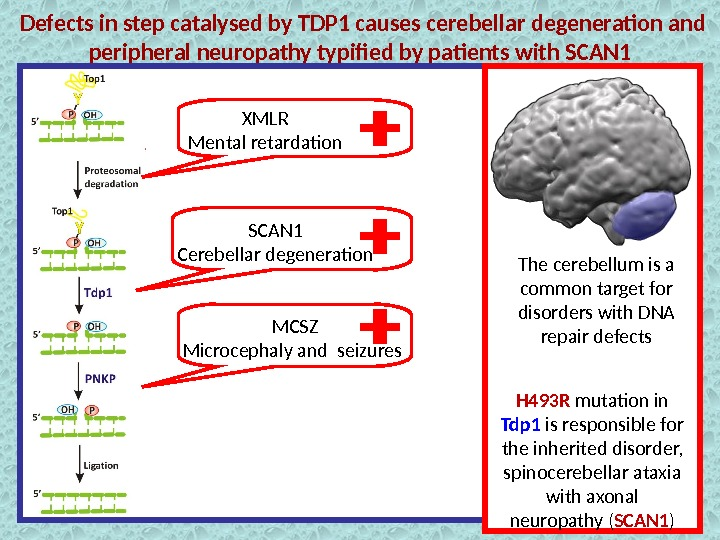 Defects in step catalysed by TDP 1 causes cerebellar degeneration and peripheral neuropathy typified by patients