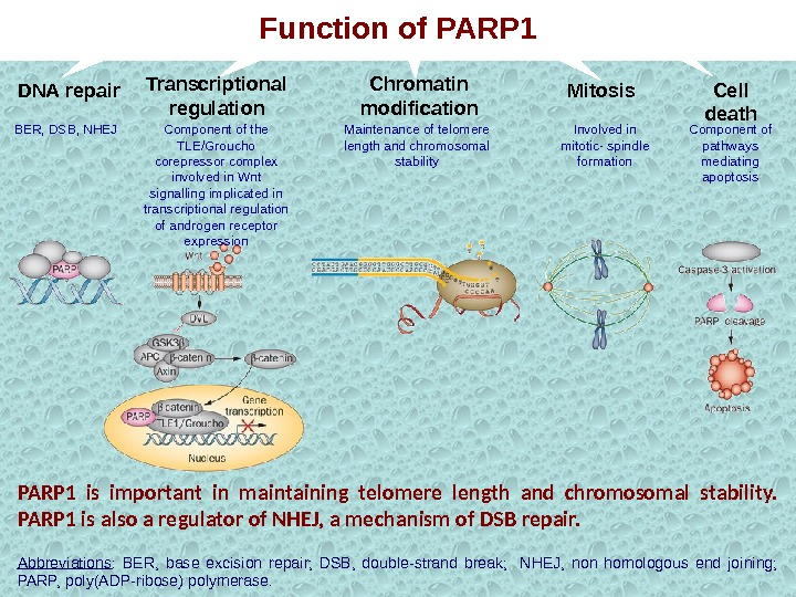 PARP 1 is important in maintaining telomere length and chromosomal stability.  PARP 1 is also