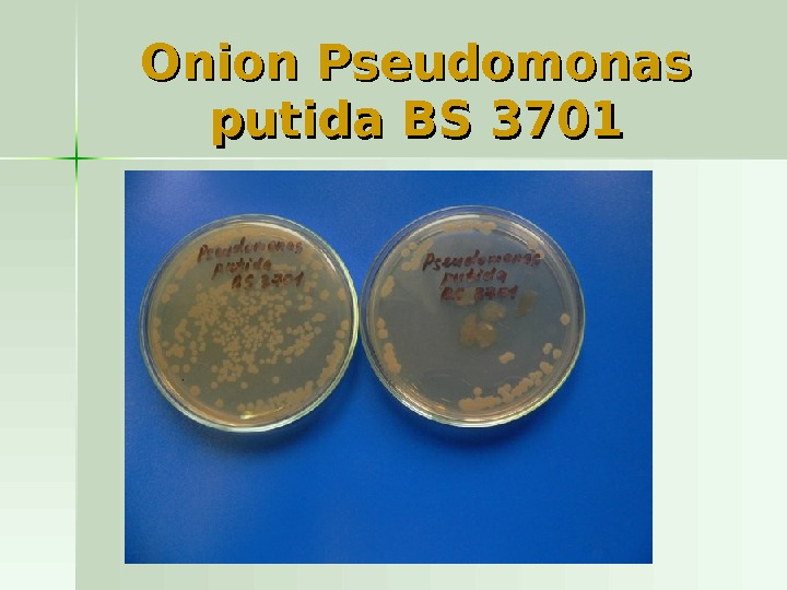 Onion Pseudomonas putida BS 3701