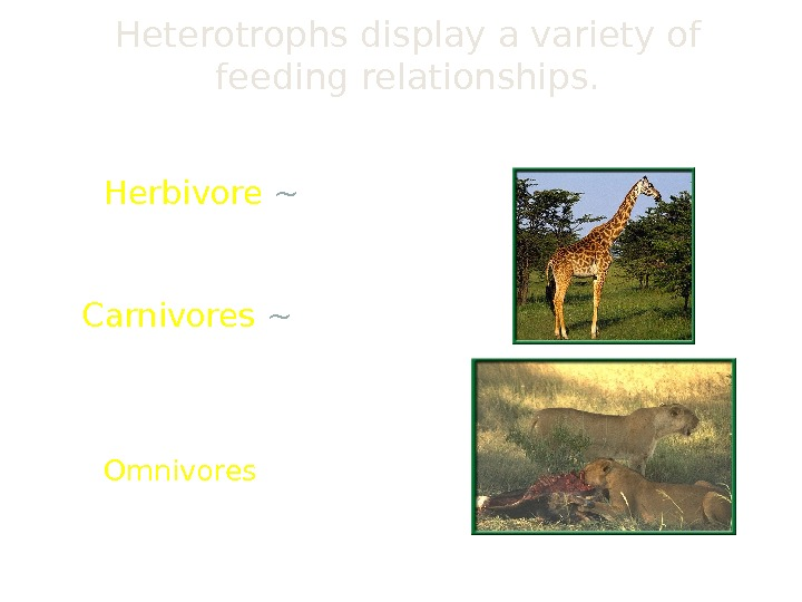 Heterotrophs display a variety of feeding relationships.  Herbivore ~ feeds only on plants Carnivores ~