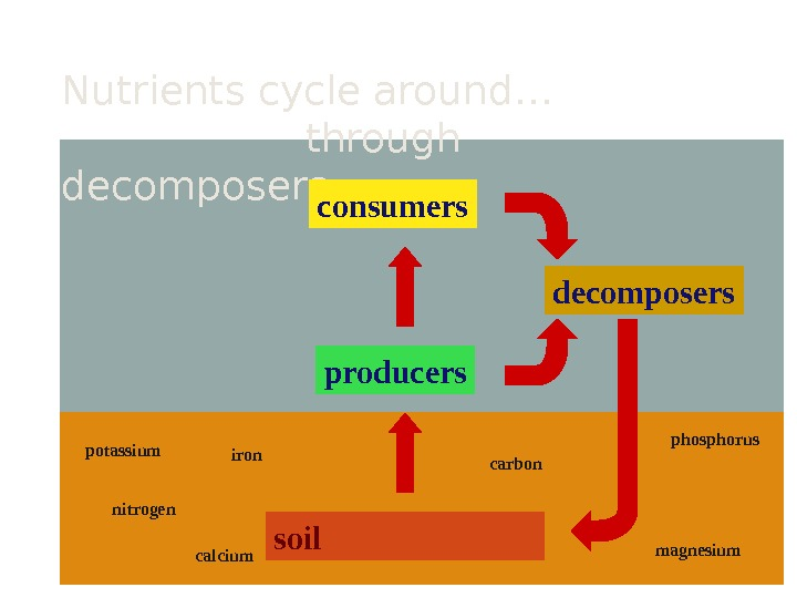 Nutrients cycle around…   through decomposers soil producersconsumers decomposers potassium nitrogen iron calcium phosphorus magnesiumcarbon