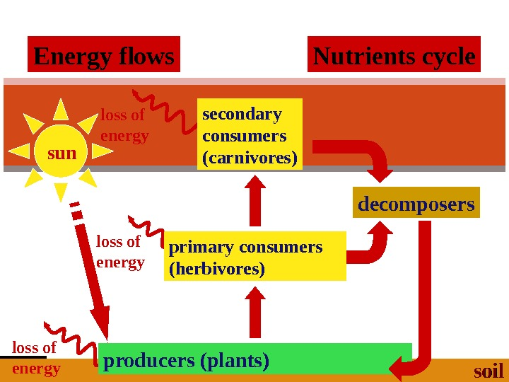 2006 -2007 loss of energy sun secondary consumers (carnivores) primary consumers (herbivores) loss of energy producers