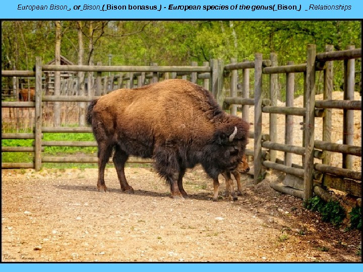 European Bison , or Bison ( Bison bonasus )-Europeanspeciesofthegenus( Bison )  Relationships