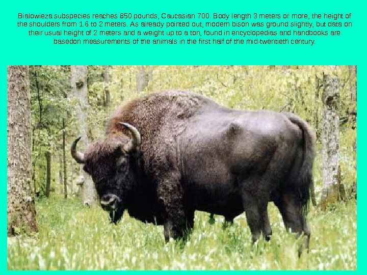 Bialowieza subspecies reaches 850 pounds, Caucasian 700. Body length 3 meters or more, the height of