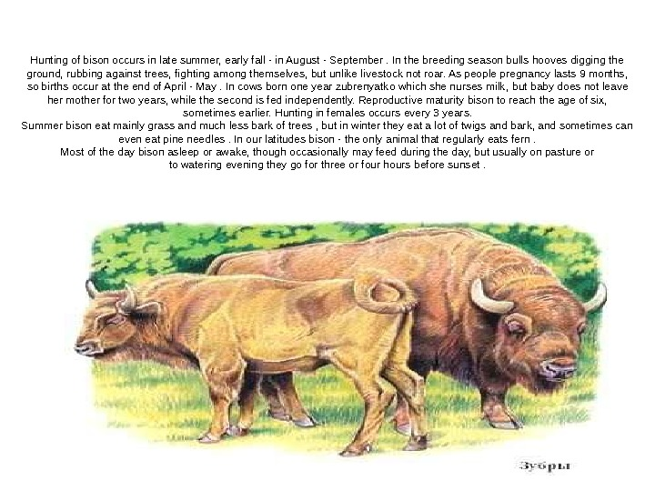Hunting of bison occurs in late summer, early fall - in August - September. In the
