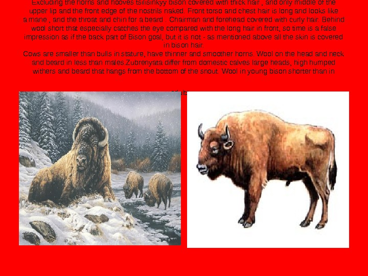 Excluding the horns and hooves tsilisinkyy bison covered with thick hair , and only middle of