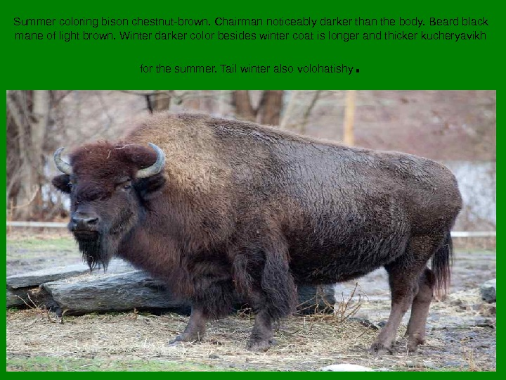 Summer coloring bison chestnut-brown. Chairman noticeably darker than the body. Beard black mane of light brown.