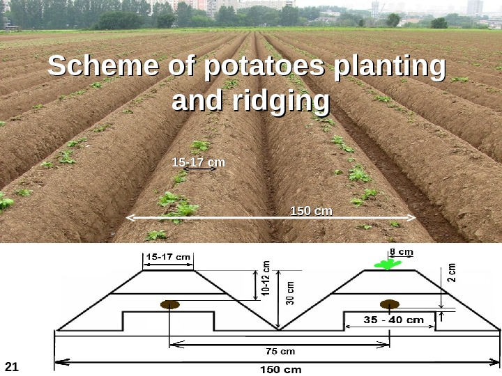 150 с mm 11 55 -17 с mm. Scheme of potatoes planting and ridging