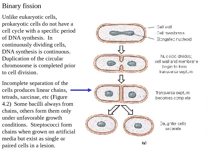 Binary fission Unlike eukaryotic cells,  prokaryotic cells do not have a cell cycle with a